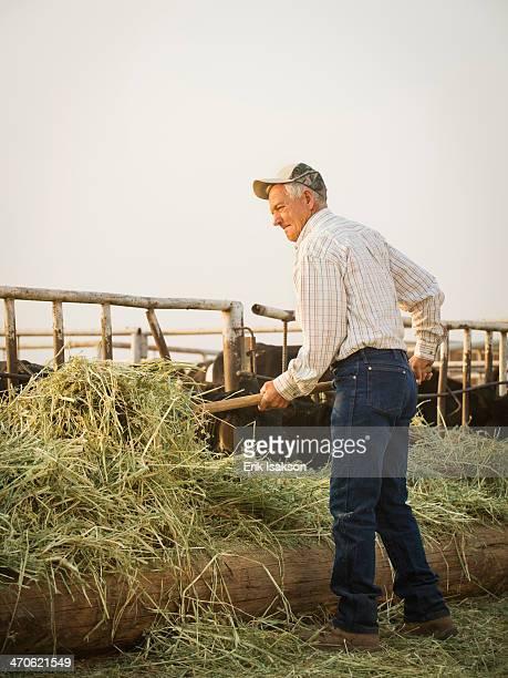 Caucasian farmer forking hay