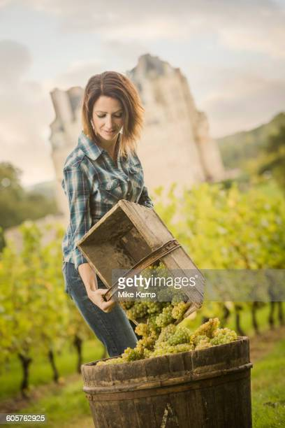 Caucasian farmer gathering grapes in vineyard