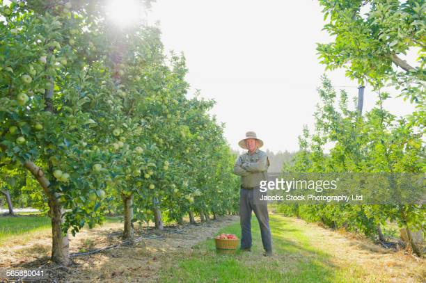 caucasian farmer picking apples in orchard - orchard stockfoto's en -beelden