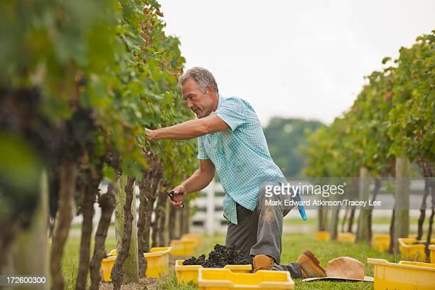 Caucasian farmer picking grapes in vineyard