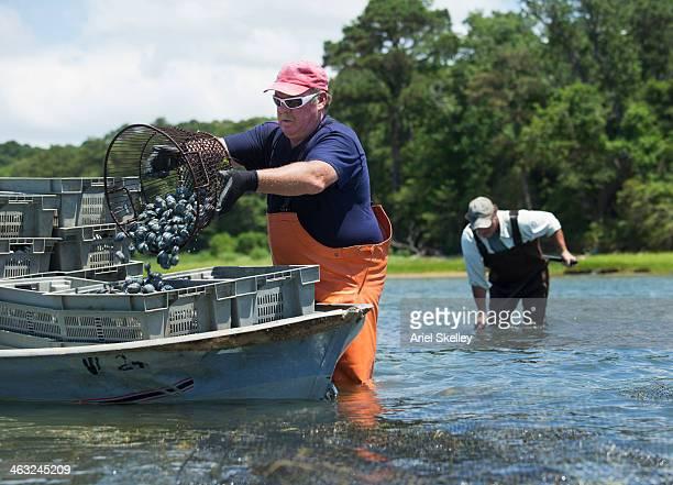 Caucasian fishermen harvesting oysters on boat