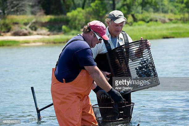 caucasian fishermen harvesting oysters - clams stock photos and pictures