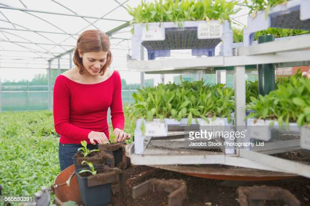 caucasian gardener potting plants in greenhouse - spalding england stock photos and pictures