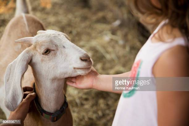 60 Top Goat Farm Pictures, Photos and Images - Getty Images