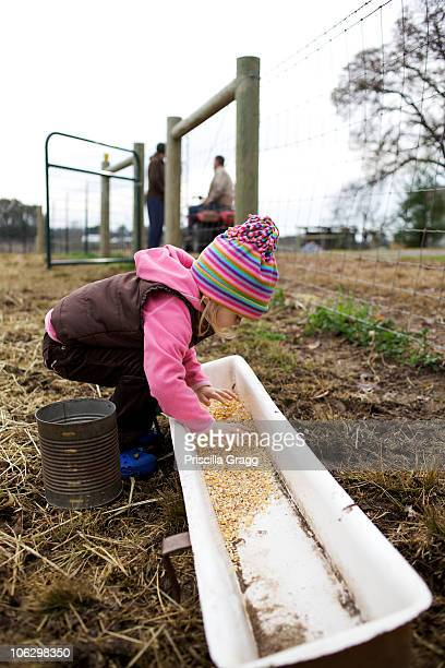 caucasian girl placing grain in trough - trough stock photos and pictures