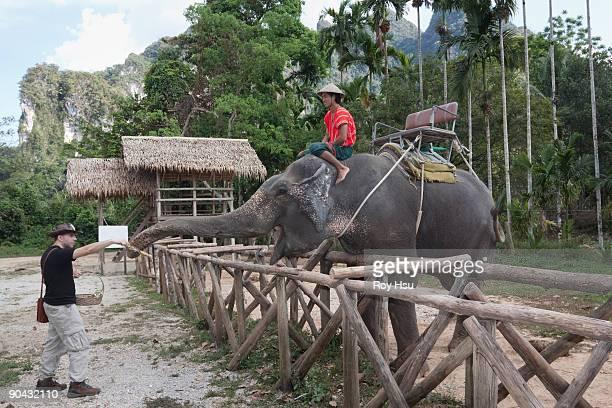 caucasian man feeding elephant in thailand - white elephant stock photos and pictures