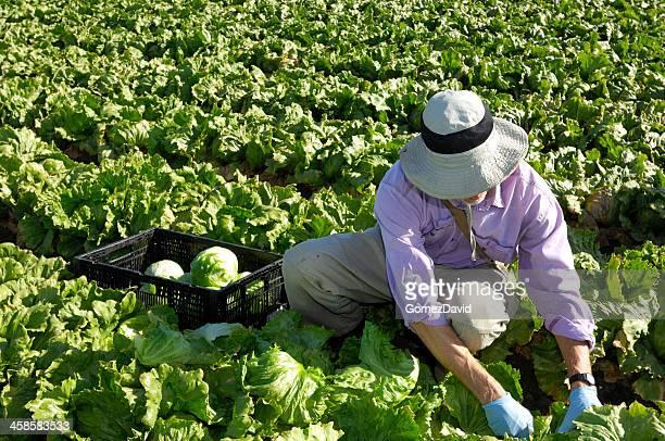 Caucasian Man Harvesting Lettuce from Field.