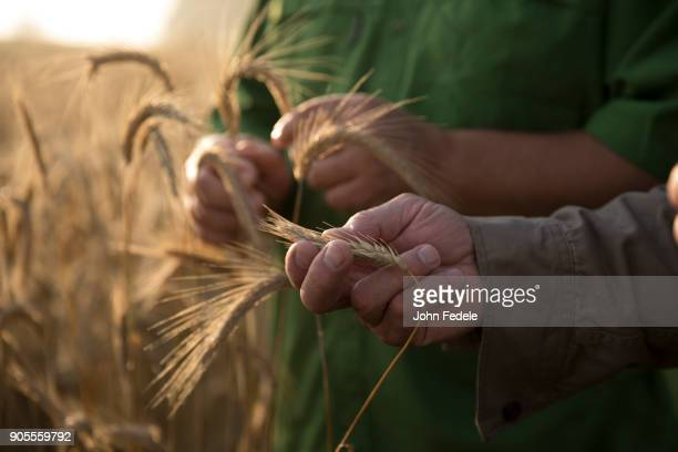 caucasian men examining wheat - wheat stock pictures, royalty-free photos & images