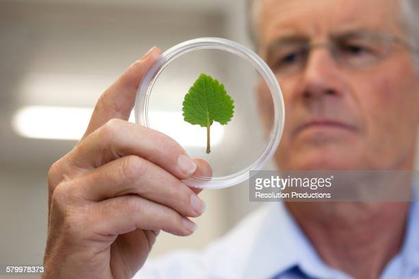 Caucasian scientist examining leaf in laboratory