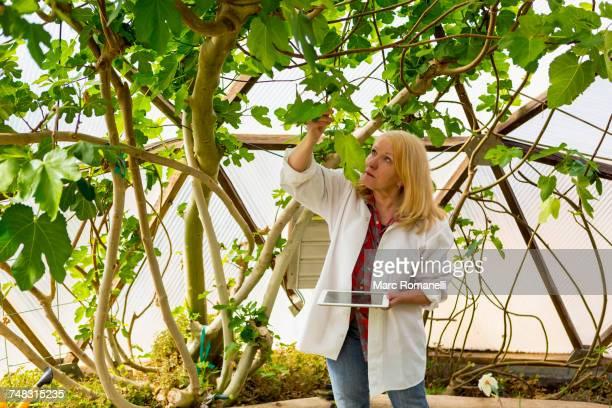 caucasian scientist using digital tablet in greenhouse - botanica foto e immagini stock