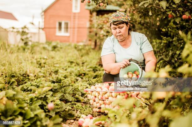 Caucasian woman picking apples on farm