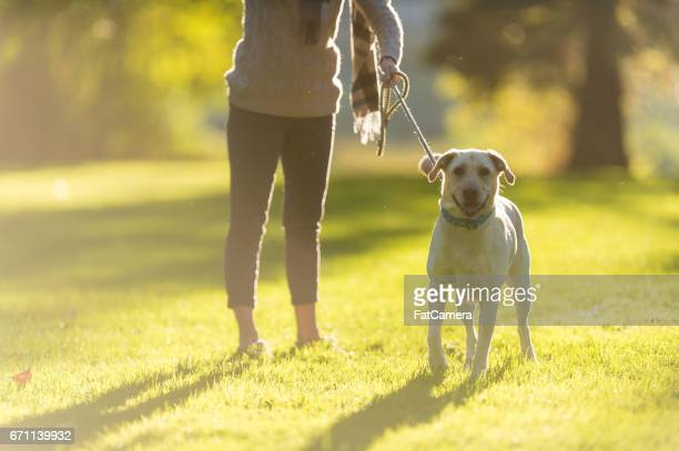 caucasian woman walks her dog on beautiful summer evening in park - dog walker stock photos and pictures