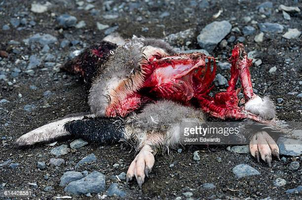 the remains of a dead adelie penguin after south polar skua have been feeding on the carcass. - ugly bird stock pictures, royalty-free photos & images