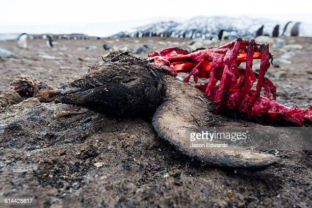 the remains of a dead adelie penguin after south polar skua have been feeding on the carcass. - day old chicks stock photos and pictures