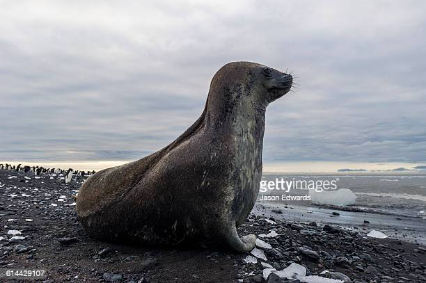 A Weddell Seal resting on a black volcanic beach in Antarctica.