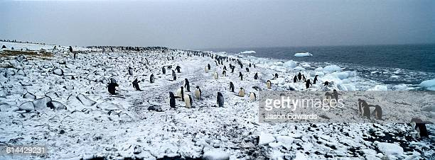 A colony of Adelie Penguins on a snow-covered beach during a blizzard.