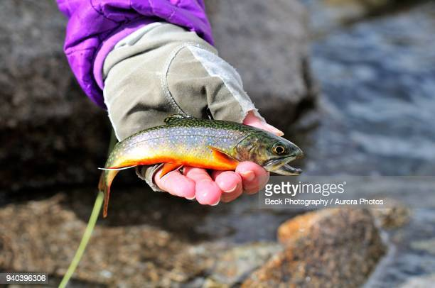 caught brook trout (salvelinus fontinalis), spain - speckled trout stock photos and pictures
