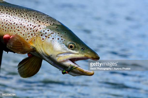 caught brown trout (salmo trutta), argentina - brown trout stock pictures, royalty-free photos & images