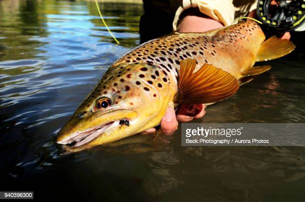 caught brown trout (salmo trutta), pennsylvania, usa - brown trout stock pictures, royalty-free photos & images