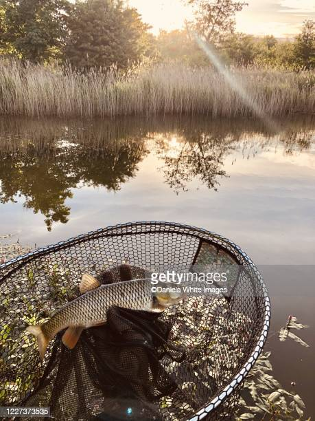 a caught chub - lake stock pictures, royalty-free photos & images
