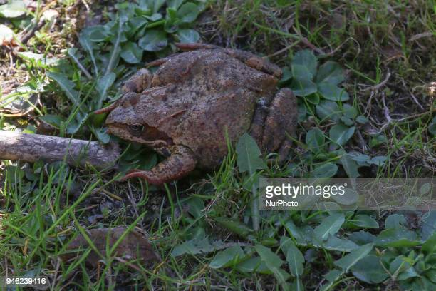 Caught in a trap frogs are seen in Gdansk Poland on 14 April 2018 Ecologists local activists and residents trap and than carry to the ponds frogs...