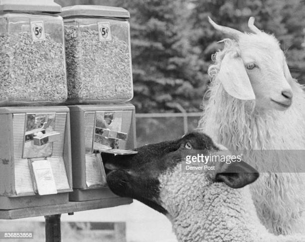 Caught In The Act A lamb at the Littleton Lions Club Petting Farm tries to break into a feed machine while a goat appears to b« keeping lookout The...