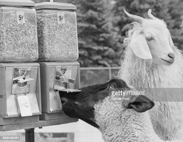 Caught in the Act A lamb at the Littleton Lions Club Petting Farm tries to break into a feed machine while a goat appears to be keeping lookout The...