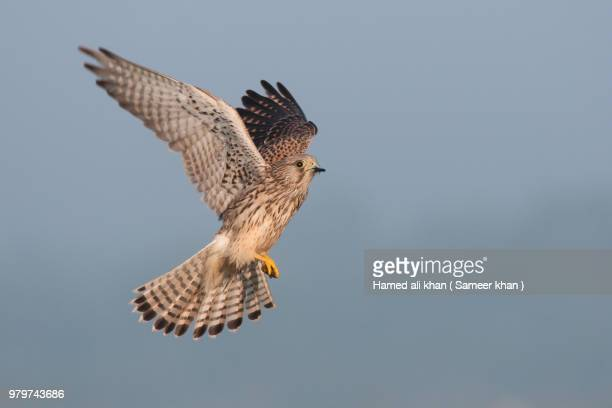 caught in the air - peregrine falcon stock photos and pictures