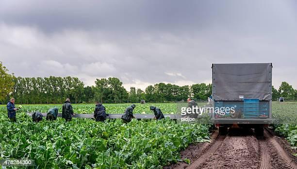 Cauliflower harvesting