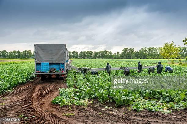 Cauliflower harvesting under dramatic sky