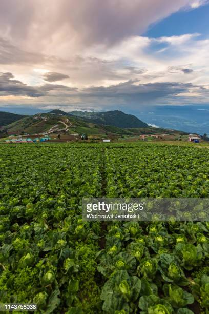 cauliflower lined up on the top of phu thap boek.  on the day of the belly and the beautiful clouds. - boek imagens e fotografias de stock