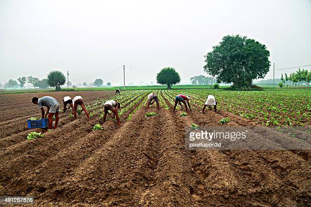 cauliflower plantation - indian culture stock pictures, royalty-free photos & images