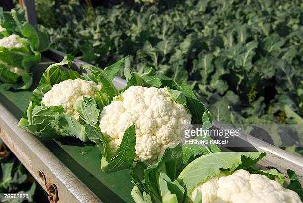 Cauliflower plants are harvested in a field near the western German town of Bornheim 24 September 2007 Cauliflower plants can be harvested from early...