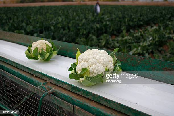 Cauliflower sits on a conveyor belt after being harvested at the Fort YumaQuechan Reservation in Imperial County California US on Wednesday Feb15...