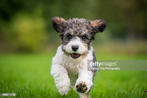 A Cavachon puppy running towards the camera