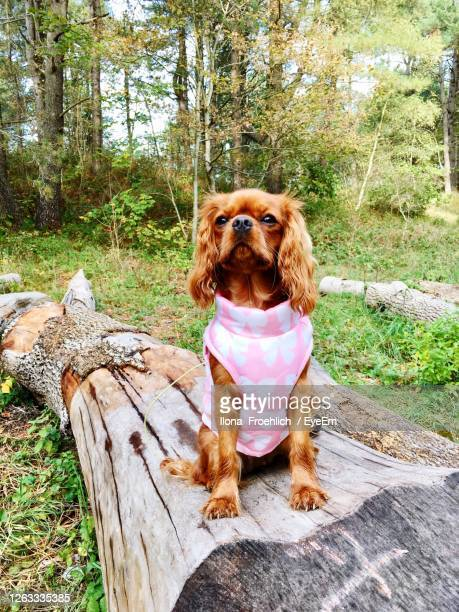 cavalier king charles - cavalier king charles spaniel stock pictures, royalty-free photos & images