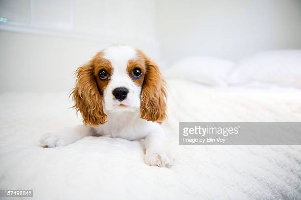 cavalier king charles puppy - cavalier king charles spaniel stock pictures, royalty-free photos & images
