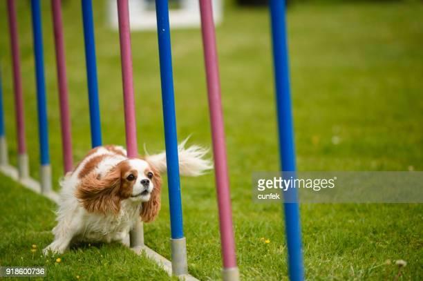 cavalier king charles spaniel agility - cavalier king charles spaniel stock pictures, royalty-free photos & images