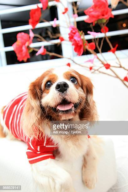 Cavalier King Charles Spaniel At Home