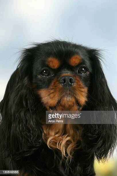 Cavalier King Charles Spaniel, black-and-tan