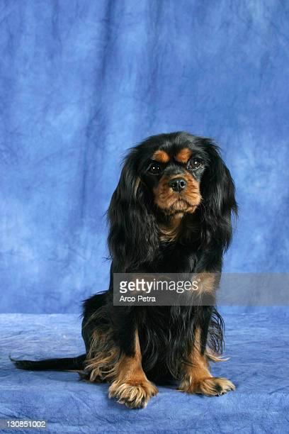 Cavalier King Charles Spaniel, black-and-tan