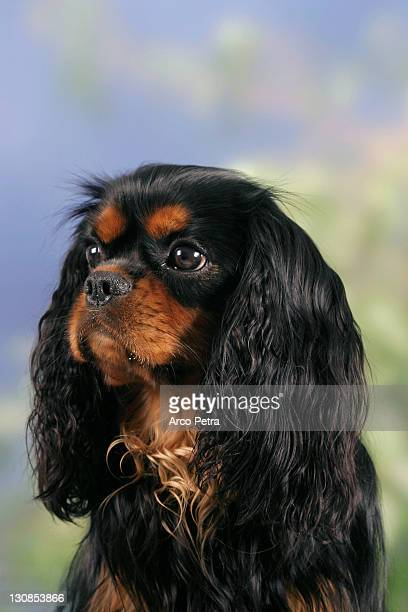 cavalier king charles spaniel, black-and-tan - cavalier king charles spaniel stock pictures, royalty-free photos & images