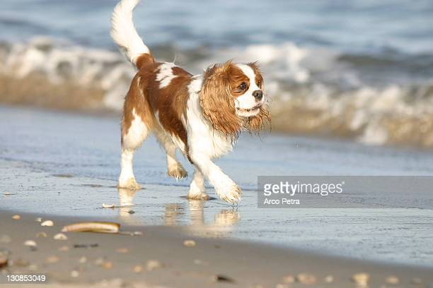 cavalier king charles spaniel, blenheim - cavalier king charles spaniel stock pictures, royalty-free photos & images