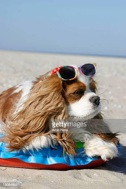 Cavalier King Charles Spaniel, Blenheim, with swimming belt and sunglasses at beach