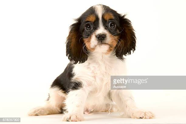 Cavalier King Charles spaniel Canis familiaris puppy studio photograph