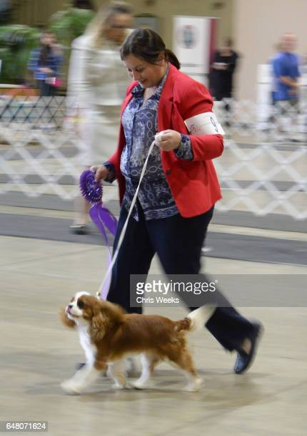 Cavalier King Charles Spaniel competes at the Annual Kennel Club of Beverly Hills Dog Show at Pomona Fairplex on March 4 2017 in Pomona California