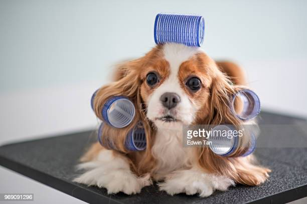 cavalier king charles spaniel dog grooming session - hair bow stock pictures, royalty-free photos & images
