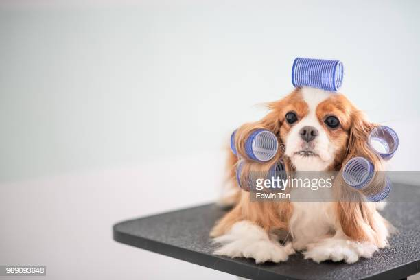 cavalier king charles spaniel dog grooming session - pet grooming salon stock pictures, royalty-free photos & images
