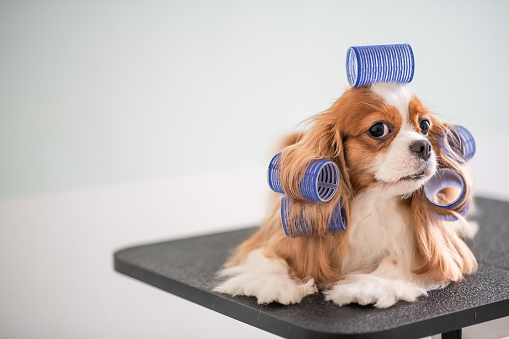 Cavalier King Charles Spaniel dog grooming session 969094064