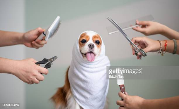 cavalier king charles spaniel dog grooming session - groom stock pictures, royalty-free photos & images
